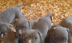 We have 1 male 5 female puppies that need good homes the price is 350.00 this is on a first come first serve basics so call today to chose a pick up time and more info or special pricing if available contact Antonio Martin at 901-314-4078