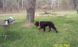 """""""BO"""" Gordon Setter AKC Registered 3 year old male intact ...this dog loves to hunt and is started ...needs finishing ...outdoor dog ..we are looking for the right avid bird hunter to provide a oudoor home for this dog.. call 561.688.3600 or 561.688.3600"""