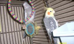I have a young bonded pair of cockatiels female is whiteface little over 1 year old. Male 2 years old. is a yellow pied. He talks says a few words, loves to dance and sing. Both Pretty tame and gentle. They should make pretty babies. No cage included.
