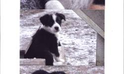 Border Collie pups mixed with Austrailian Shepherd; these pups are absolutely beautiful. Parents are on site and pups are ready to go. Don't miss out, they won't last long at this price. (248-880-7783) Please call as I don't respond to e-mails. Thank you!
