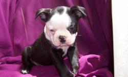 ( boy -aa) 6 week old C.K.C registered . Male puppy looking for a loveing family. up to date worming and first shot. Located 50 +/- miles from Huntsville, Al. and 50 +/- from Chattanooga , Tn. My parents deliver up to 50 +/- miles for free. P.S. mom told