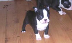 WE HAVE 2 LITTLE BOYS AND 2 LITTLE GIRLS, BLACK & WHITE, REGISTER, ALL SHOTS AND WORMING, FULL RECORD OF THIS GO'S WITH OUR BABIES. WE HAVE BEEN SPECIALIZING IN RAISING THE BOSTON TERRIER FOR OVER 18 YEARS AND INJOY IT SO MUCH. BOSTON TERRIER ARE AN