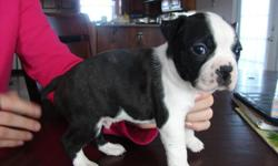 CKC REGISTERED 6 WKS (READY JAN 22) 1ST SHOTS, WORMED, VET CHECKED HEALTH CERTIFICATE 4 FEMALES 4 MALES BLK & WHITE PUPPY PAD/PAPER TRAINED HERE ARE A FEW PICTURES OF THE PUPS CAN EMAIL MORE IF NEEDED