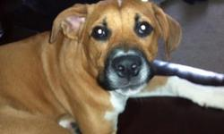 PLEASE ASK ABOUT ADOTION FEE Jersey is a young 8 month old Boxer mix that came to us from a family that simply no longer wanted him because they decided they do not have time for him and he is bigger than they want in their home. He is currently waiting