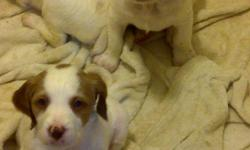 AKC Registered 3 males and 3 females born 01/23/2011. White and orange w/ great markings. Both parents and a female from first litter on site. Leave Message
