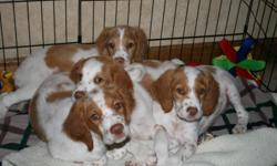 AKC registered, orange and white Brittany pups. Three males left. Tails docked, dew claws removed, all shots good till one year. Born July 30th. Three and a half months old. Parents on site and both are good hunters.