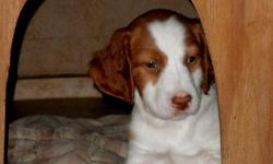 AKC registered Brittany puppies. First and second shots done. Breeder owns both parents and puppies have been raised in a loving home. Brittany's make great family dogs as well as hunting dogs. Great with kids. Nice medium size dog--will get to be about