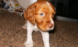 Brittany Spaniel Puppies born on 11/14/12. 1-Male $500 and 6-Female $600. Parents are AKC, Champion Line. Puppies have their tails docked and dewclaws removed.