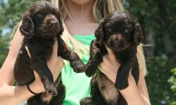 Beautiful BSS registered Boykin Spaniel puppies, championship bloodline, excellent pedigree and hunting background, health checked and guaranteed, home raised with lots of TLC, great hunting partners and great pets, Boykins make great companions/family