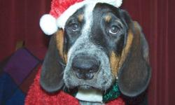 8 1/2 month old Male Catahula Leapord/Blue tick coonhounds Free to GOOD HOMES ONLY!! Mother is a registered Blue Tick Coonhound Father is a Catahula Leapord Mix. They have all their shots and rabies certificate. 4 males to choose from. Very active and