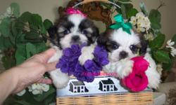 Elegant Imperial, Standard and Tiny Shih Tzu Puppies. Champion Lines!!! Some of the Most Beautiful in the World!! Beautiful Babydoll Faces, Short Flat Faces, Fabulous Thick Luxurious Coats, Big Beautiful Eyes, Short Compact Bodies. Loving Personalities
