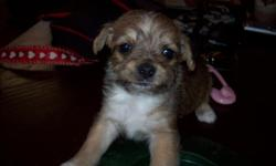 I HAVE 2 CHI-POOS PUPPIES..1 FEMALE AND 1 MALE.THEY ARE SO CUTE.. THEY WILL COME WITH CKC PAPERS AND 1 SHOTS AND DE-WORMED AGAIN,THEY ARE DOIND GREAT ON THE PEE PADS NOW TO...