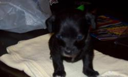 I have 3 little chi-poos left,1 male and 2 female..They will be small about 4 pounds..mom is a poodle and dad is chihuahua they are so cute..They will have 1st shots and de-wormed again..