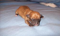 I HAVE 5 CHI-POOS.... THEY WILL BE SMALL ...ABOUT 4 POUNDS FULL GROWN....I HAVE 3 FEMALES AND 2 MALES.. THE 1ST 3 PICS ARE FEMALES AND THE LAST 2 PICS ARE MALES....I AM TAKING DEPOSITS ON THEM NOW.. THANK YOU