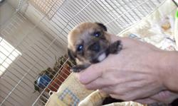 I have a litter of chi-poos they are 5 of them and they are so pretty,3 female and 2 males.. they are going to be small puppies,they will come with there 1st set of shots and will be de-wormed again,they do have ckc papers,And i am taking DEPOSITS on them