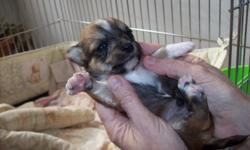 I have 5 chi-poos ..2 males and 3 females ..they are soooo cute...they will have 1st sets of shots.and be de-wormed again... I am taking deposits now these are some puppies that are going to stay small...thank you