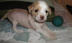 For Sale: Newest and hottest breed Chi Chi?s are now available Breed: Chi-Chi Designer/hybrid cross between a Chihuahua and Chinese Crested Hairless. Only four available for May 21st. Smooth coat male, Hairless male and female and Hairy Hairless female