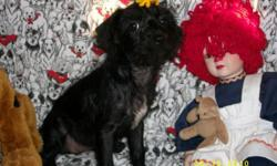 Two Chi Poos born March 18, one female and one male. Black in color, Mom a poodle and Dad a Chihuahua. Dewormed, second shot given, Vet has been visited and puppies have a clean bill of health. They are small in build the male being the smaller one. Both