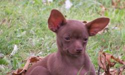 Excellent Temperament. AKC/ACA reg. DOB: 3-8-2011. Fe. Black w/white trim. Fe. Dark Chocolate Sable $300 ea. Chocolate Male with light eyes,$600. Hand raised in home with parents. Trained to doggie door & pee pad. 1st and 2nd shots, wormed, declawed,