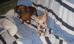Must re-home my dogs as we are expecting a baby and I am no longer able to give them the time they deserve. Carlton (chihuahua) : 3 years old, neutered, blonde, 5 pounds Peachy (dachshund) : 5 years old, spayed, red, 7 pounds They must go together as they
