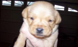 I HAVE 2 MORE PUPPIES ..1 FEMALE AND 1 MALES.....THEY WILL BE ABOUT 8 TO 10 POUNDS..THANK YOU