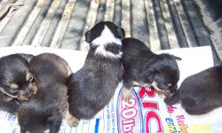 I have some beautiful , registrable; very small Chihuahua puppies. They should not get bigger than about 3 lbs. They are sweethearts with a great personality. Easy to train. The first litter was born on May 17/th 2010 4 females & 1 male,- will be ready to