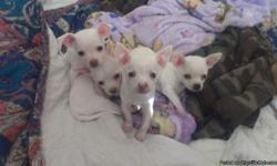 Very sweet and playful chihuahuas 7 wks old loves Kids and other dogs. I have 1 little girl shes white and light tan. Shes the smallest if them all. (See pic below. Puppy on pink blanket is her.) I have 4 little boys all of them are white with Brown spot