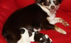 I have two male chihuahua puppies that were born on Thanksgiving day. They will be ready to go approx. at the beginning of January. I will accept a deposit to hold a puppy until that time. The mother is a long hair tri-color chocolate and white with tan
