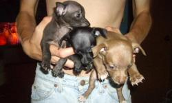 I have three chihuahua puppies for sale. 2 males $100 a piece.(one is brown and the other is a charcoal color) and one female $150.(she is black with a small white spot on her chest area) they all have a little bit of white on the tips of their feet. They