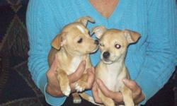 2 female chihuahua puppies, 3 mo. old, shots and vet check, short hair. Mom and dad on site