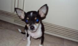 14 week old male puppy he is doing great on potty training and is small and cute email for more info.