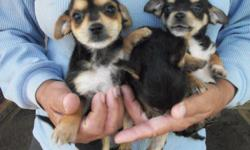 I HAVE ONE MALE AND TWO FEMALE FOR SALE. THEY HAD FIRST SHOT AND DEWORMED. THEY HAVE THE HAIR OF A YORKIE BUT LOOK LIKE CHIHUAHUA. THEY ARE A GREAT SIZE FOR THE HOUSE OR FOE KIDS TO PLAY WITH. CALL TODAY FOR MORE INFORMATION- 803-829-3403