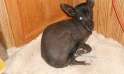 Chinese Crested female needs a home. Shes 3 yr.old, un altered . She has 1 eye but you cant tell unless your looking for it . When she blinks both eyes do. Shes a good dog, We live in a small trailer and she needs more room than that .Shes up to date on