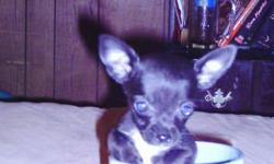 ckc chihuahua puppies raised in doors has been wormed and had first shot will be small 843-283-4859