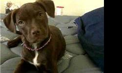 I have a 1year old Chocolate pit bull...Female... fully house broke and well tempered....NOT FOR FIGHTING!!!. her tail and ears are natural not cropped...call or email for more info. PRICE REDUCED!!!... miislove713@hotmail.com or 1(573) 218 2056 or 1(573)