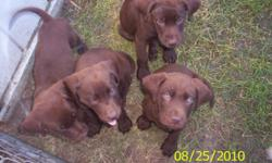Pure bred chocolate lab puppies 8 weeks old first shots 2 females 2 males