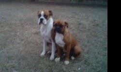 Male 2year old flashy fawn and a female 8 month old fawn. both have great markings and are great dogs. They are inside outside dogs. I am getting ready to deploy and my wife is pregnant and won't be able to take of them like me. call or tx910-729-1559 or