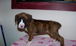1 male, 4 females. Dark Brindle with white markings and Fawn with white markings. 8 weeks old on 12/11/10