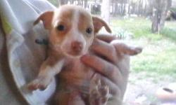 Three CKC registered chihuahuas, two males one female. approx 8 weeks old, cute, healthy, adorable and ready to go.