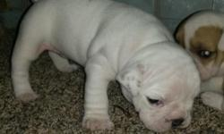CKC Full English Bulldog Puppys, 4 Females, and 3 males left. All puppys come with puppy pack, first shots, dewormer, full registration paper work, and vacine records these pups are big fat and have big heads, they will be ready for the Holidays on