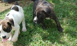 English Bulldog puppies CKC Birthdate: 6/17/10. Both males. We bought them when we were considering breeding our female. Now we have decided not to breed so we would like to sell the males. We have had the first shots done and getting ready to do another