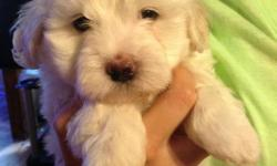 CKC Male Maltese Pup - Very loving little dog and ready for a forever home. Mom (7lbs) and Dad (10lbs) on site. The parent are our pets. I'm don't have kennel and not a breeder. 601-668-5538