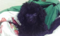 ckc poodle pup 8 weeks old shots and wormed male