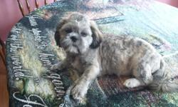 I have a CKC male shih-tzu that is 15 mths old and colors are silver/brindle. House broken and rabies are good untill 5-8-11. He is not fixed. For more information call 931-853-4102 or 9314-201-6042.. I live in Loretto,TN pix with short hair and long