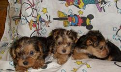 CUTE AND SWEET BLACK & GOLD YORKIE PUPPIES. FIRST SHOTS AND DEWORMED. THEY ARE JUST PRECIOUS!