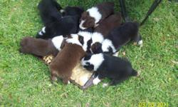 CKC REGISTERED AUSTRALIAN SHEPHERD PUPS. 5 RED TRI'S AND 3 BLACK TRI'S. WE HAVE 5 MALES AND 4 FEMALES. ONE MALE LOOKS AS IF HE IS GOING TO BE A BLUE MERLE-HIS PRICE IS $450.00. WE LIVE IN BRAZORIA. FATHER IS A RED TRI WITH GREEN EYES AND MOTHER IS A BLACK
