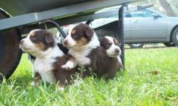 CKC REGISTERED AUSTRALIAN SHEPHERD PUPS FOR SALE. 5 RED TRI'S AND 3 BLACK TRI'S. WE DO HAVE ON MALE THAT LOOKS AS IF HE IS GOING TO BE A BLUE MERLE- HIS PRICE IS $450.00. DAD IS A RED TRI WITH GREEN EYES. MOM IS A BLACK TRI. IF YOU WOULD LIKE PICTURES OF