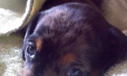 mini-silver and black female dapple dachshund 4wk old born on January 23,2011