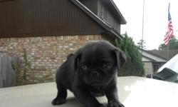 Adorable Black Female CKC Registered Pug. Born October 9, 2010. Ready for her new home as of November 28, 2010. Already de-wormed and will have her 1st set of shots. If interested, please call 936-539-0067