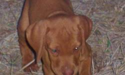 I have 6 male and 4 female 6 week old Vizsla pups for sale. These are beautiful dogs.